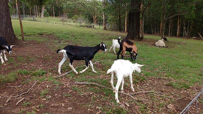 goats2IMG_20160107_120434629